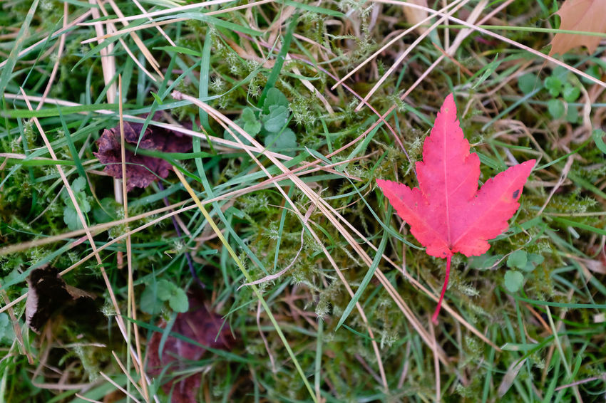 Single red maple leaf on ground Autumn Autumn Leafs Autumn Leaves Acer Autumn Colours Beauty In Nature Close-up Day Field Grass Growth Leaf Maple Maple Leaf Nature No People Outdoors Petal Plant Single Leaf