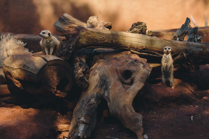 Animal Wood -