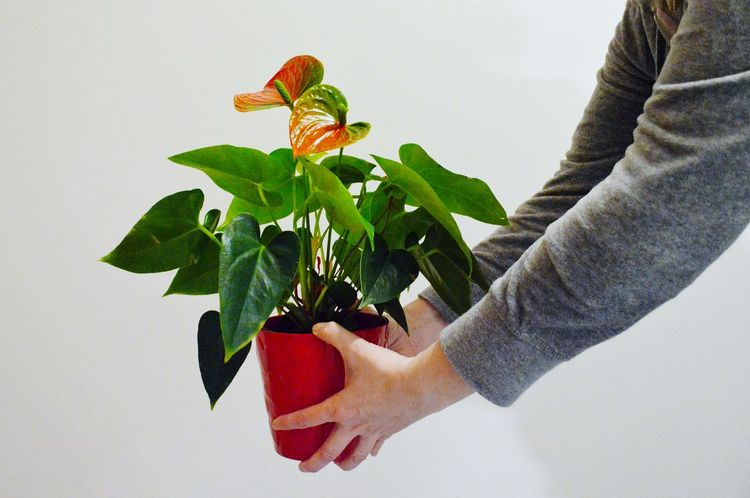 Plant Plants And Flowers Studio Shot Getting Creative Human Hand Human Body Part One Person Adult People Holding Adults Only Hand Lifestyles Leaf Close-up Nature Red Indoors  Freshness