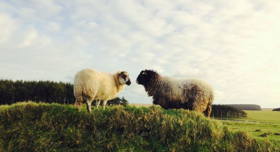 I ❤️ ewe 🐑😉 Sheep Davidstow Cornwall Uk Cornwall Farm Farmland Ewe Love Love ♥ Clouds And Sky
