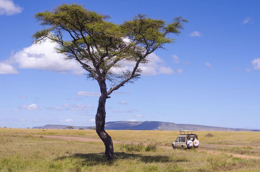Safari truck drives past iconic acacia tree in Serengeti National Park, Tanzania 4x4 Travel Acacia Tree EyeEmNewHere Holiday POV Serengeti National Park Tanzania Africa Grass Honeymoon Landscape Nature Outdoors Safari Transportation Tree EyeEmNewHerе