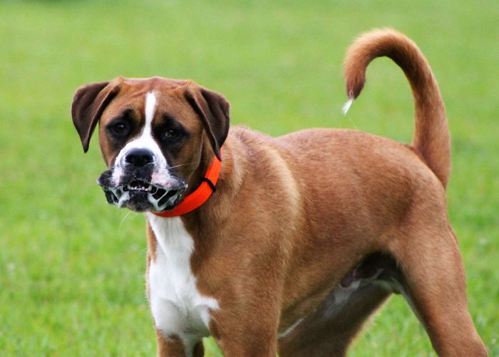 Animal Themes Boxer Dog Close Up Close-up Day Dog Domestic Animals Field Grass Mammal Nature No People One Animal Outdoors Pets Portrait
