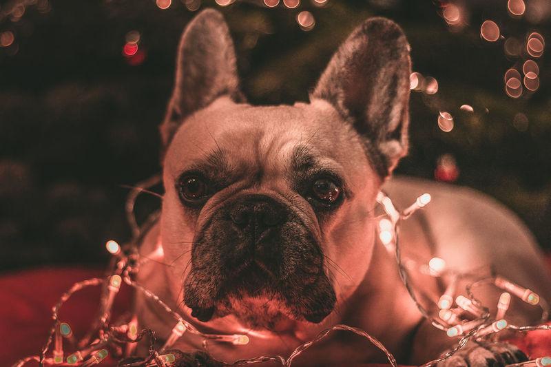 Close-up portrait of dog with illuminated string light