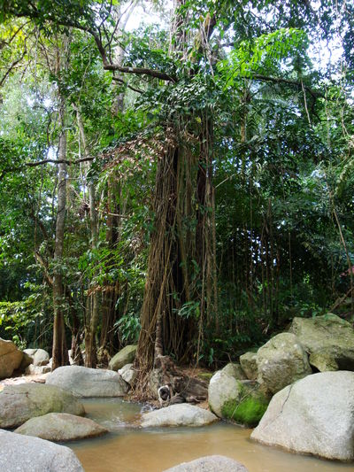 Tropical Tree Air Roots ASIA Koh Samui,Thailand Rocky Shore Thailand Photos Beauty In Nature Day Forest Growth Landscape_photography Nature No People Outdoors River Rock - Object Scenics Thailand_allshots Tranquility Tree