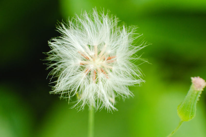 Beauty In Nature Close-up Dandelion Dandelion Seed Day Flower Flower Head Fragility Freshness Growth Nature No People Outdoors Photosynthesis Plant Green Color Green Greenery Green Eyes Fight For Your Right