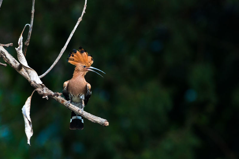 Common Hoopoe bird in nature. Animal Themes Animal Wildlife Animals In The Wild Bird Branch Close-up Day Focus On Foreground Nature No People One Animal Outdoors Tree