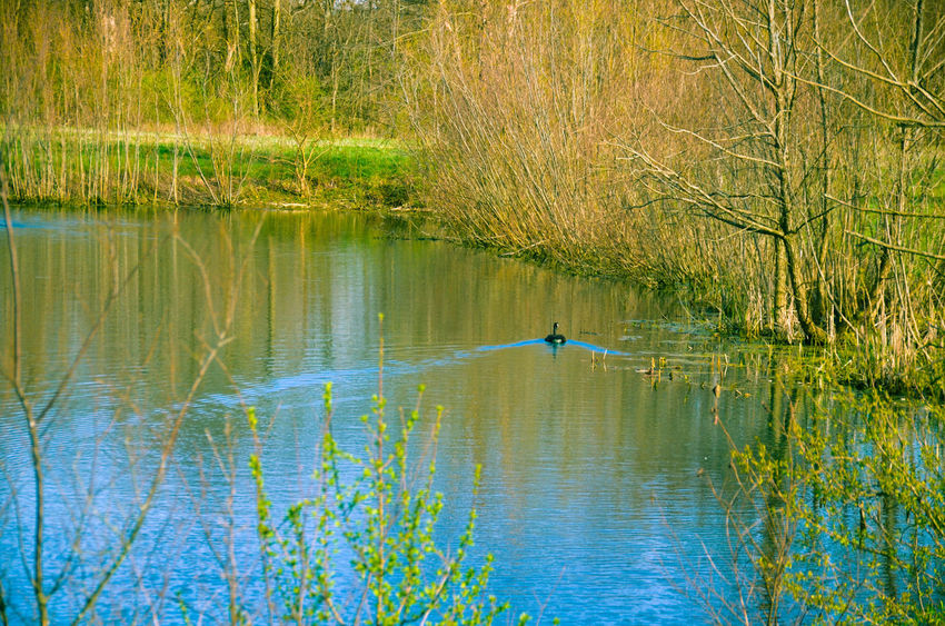Animal Themes Animals In The Wild Beauty In Nature Bird Day Grass Lake Nature No People One Animal Outdoors Reflection Scenics Swimming Tranquil Scene Tranquility Tree Water Waterfront The Great Outdoors - 2018 EyeEm Awards