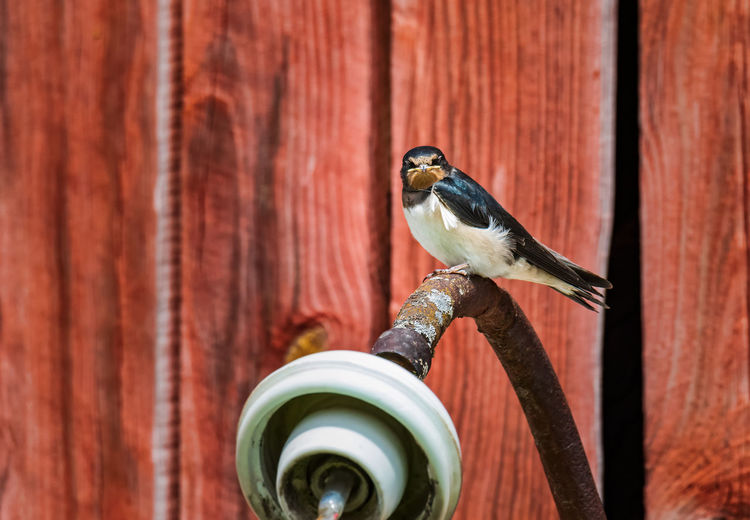 Young barn swallow waiting to be fed