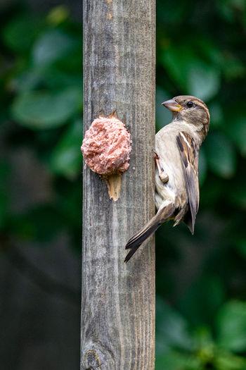 House sparrow, passer domesticus, on home made garden suet bird feeder