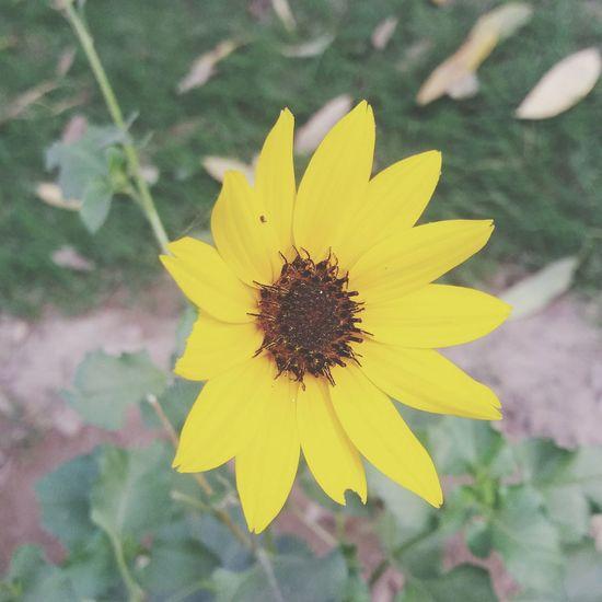 Sunflower Flower Head Flower Yellow Petal Summer Close-up Plant