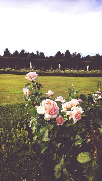 Versailles Versailles Palace Château De Versailles  Vintage Roses