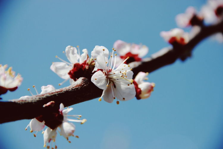 Close-Up Of Cherry Blossoms Against Blue Sky