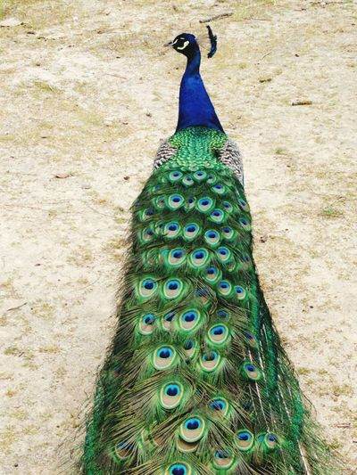 High angle view of peacock perching on footpath
