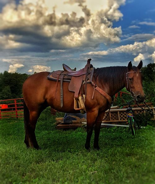 Horse Cloud - Sky Outdoors Livestock Quarterhorse Fleenorslivestock Farmer's Life ILoveThisLife Photooftheday Farm Life Myjourney Farm Photos Nature Summer Domestic Animals Animal Themes Mammal Sky Day Grass No People Nature Fleenorslivestock