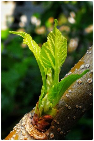 young budding mulberry shoot Beauty In Nature Budding Close-up Day Fragility Freshness Green Color Growing Growth Leaf Nature No People Outdoors Plant Young Buds Young Shoots