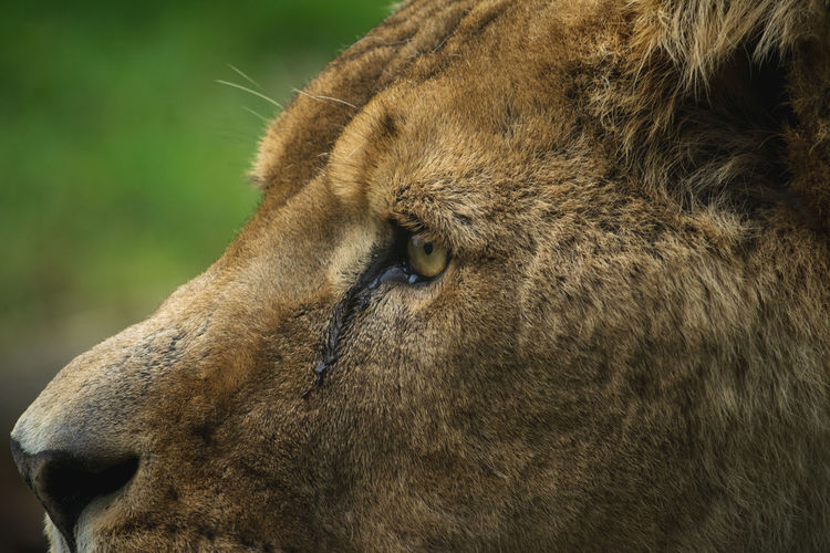 Close-up of a lion looking away
