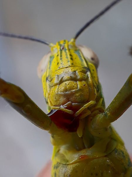 grasshopper macro closed up Defocused Insect Close-up Animal Themes Plant Animal Antenna Grasshopper Magnification