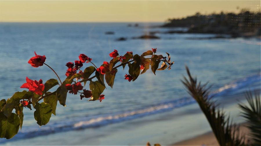 Water Sea Plant Beauty In Nature Flower Flowering Plant Nature Beach Fragility Land Sky Vulnerability  Tranquility Horizon Over Water Tranquil Scene Focus On Foreground Horizon Scenics - Nature Growth No People Outdoors Flower Head Bougainvillea Pacific Ocean Laguna Beach View Ocean Beach Photography