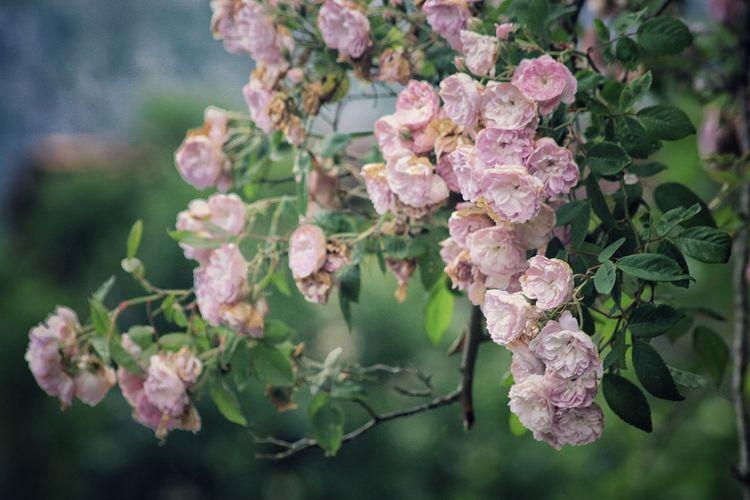Rosas🌹🌹 Naturaleza Flower Plant Beauty In Nature Pink Color Plant Part No People Petal Botany Flowering Plant Nature