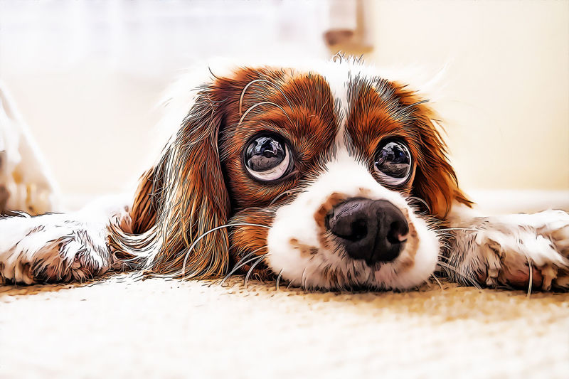 One Animal Animal Themes Pets Dog Domestic Canine Animal Mammal Domestic Animals Relaxation Looking At Camera Vertebrate Portrait Selective Focus Lying Down Lap Dog No People Close-up Day Young Animal Animal Head  Small Cartoon