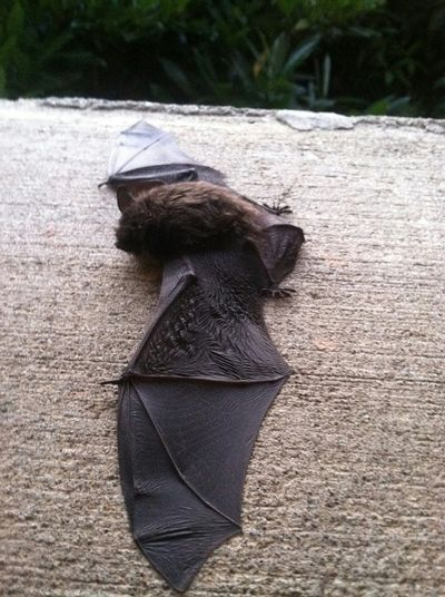 Bat Wildlife Wild Animal One Animal Check This Out Small And Swift Small Relocated Vulnerable Nature Urban