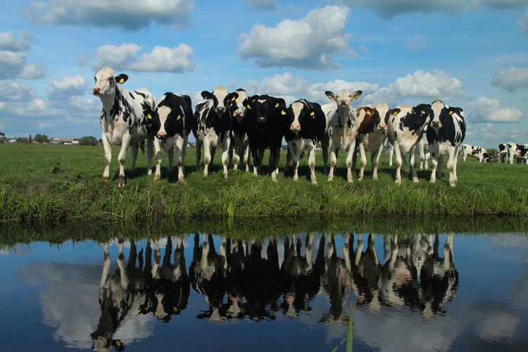 Panoramic view of cows grazing