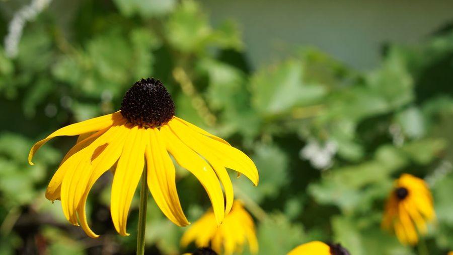 First Eyeem Photo Nature Nature Photography Macro Flower Close-up Close Up Yellow Yellow Flower Black Eyed Susan