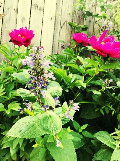 Garden Peony  Flower Flowering Plant Plant Freshness Beauty In Nature Growth Fragility Pink Color Flower Head Green Color Day No People Outdoors
