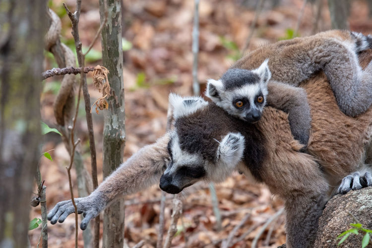 Ring tailed lemur adn offspring in Madagascar. Animal Wildlife Animals In The Wild Mammal Day No People Nature Outdoors Offspring Lemur Monkey Nature Fauna Madagascar  Africa Vacations Travel Destinations Explore Young Adult Baby Ring Tailed Lemur River Old And Young Mother And Child Mother Father