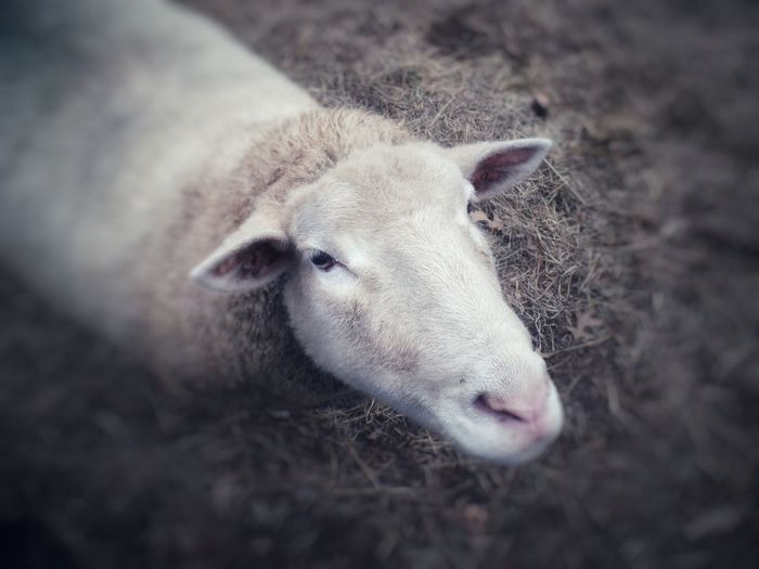 What's up? beauty in nature, Hidden Beauty In Nature, White White Color Animal Themes Wood - Material Do Not Eat Chops Cute Close-up Animal Body Part Sheep Lamb Animal Nose Livestock Grazing Snout Domestic