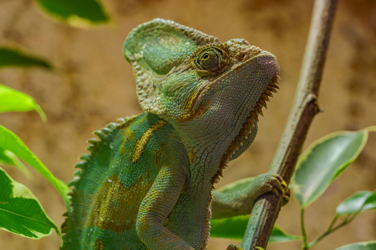 Animal Animal Body Part Animal Eye Animal Head  Animal Scale Animal Themes Animal Wildlife Animals In The Wild Chameleon Close-up Day Focus On Foreground Green Color Iguana Lizard Looking Looking Away Nature No People One Animal Plant Reptile Vertebrate