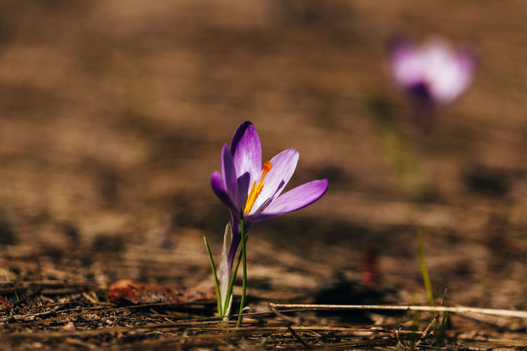 Spring flowers Flower Flowering Plant Freshness Plant Crocus Fragility Vulnerability  Petal Beauty In Nature Purple Close-up Nature Flower Head Springtime Outdoors Land Macro Photography