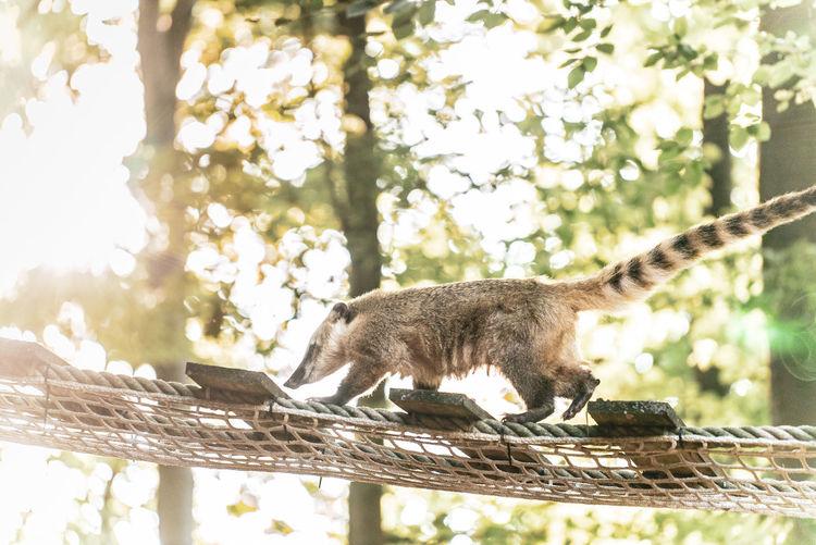 coati Animals In The Wild Coati Light Animal Themes Animal Wildlife Brown Green# No Peaple Zoology