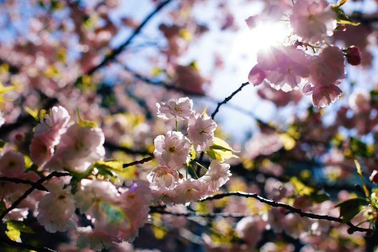 桜🌸と朝 Flowering