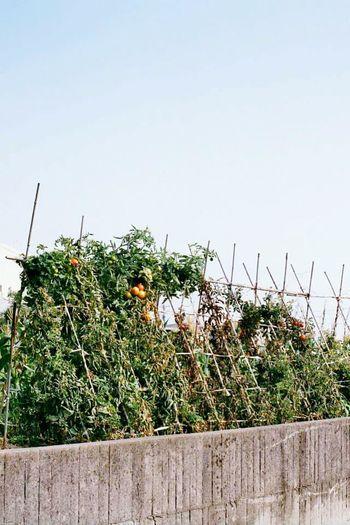 豐收 Taking Photos Enjoying Life Taiwan Photographer CanonA-1 Taiwan Canon Fruits