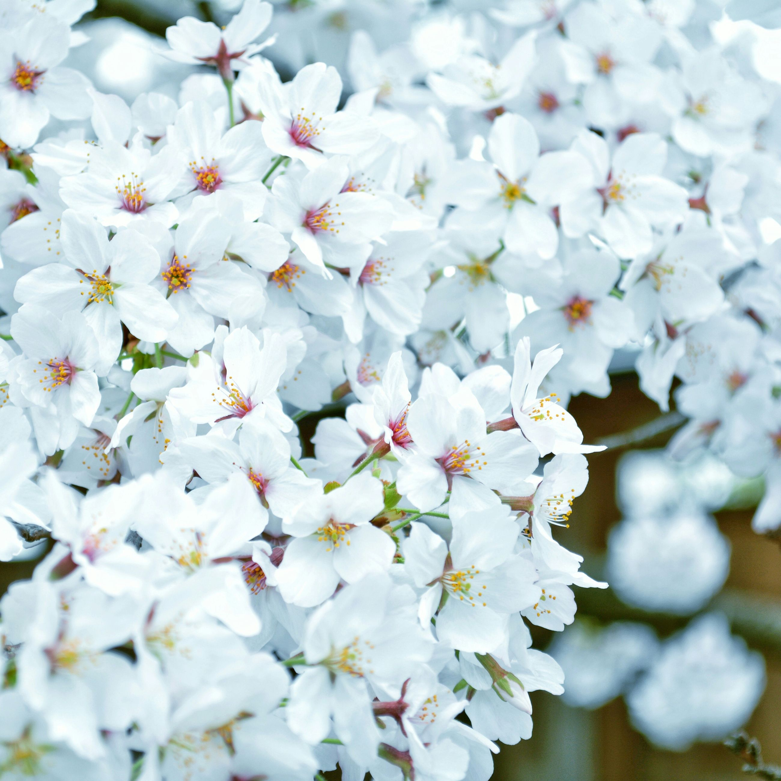 flower, freshness, fragility, white color, petal, growth, beauty in nature, flower head, blossom, nature, blooming, cherry blossom, focus on foreground, close-up, in bloom, selective focus, springtime, cherry tree, botany, branch