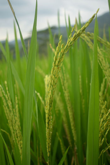 Paddy Agrarian Tropical Green Yellow Morning Wallpaper Rice Rice Paddy Field Field Nature Village Life Farmers Padi Sawah Cereal Plant Rural Scene Agriculture Defocused Crop  Irrigation Equipment Close-up Sky Green Color