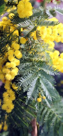 yellow flower of mimosa symbol of international womens day 8th March IWD International Women Day International Women's Day International Women's Day 2018 Love Mimosa Flowers Background Festa Della Donna Festa Delle Donne Flower Gifts International Woman Day International Womens Day Mimosa Mimosa Flower Mimosa Pudica Mimosas Mimose Mothers Day Nature Spring Springtime Yellow ınternational Women's Day