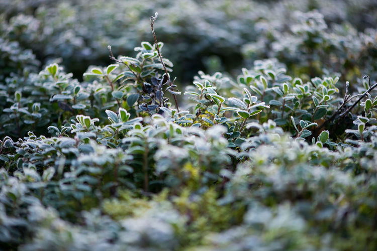 Fall Beauty Frost Green Horizontal October Morning Beauty In Nature Close-up Day Forest Forest Plants Fragility Freshness Frosty Mornings Frosty Nature Frosty World Green Color Growth Ice Cristal Leaf Nature No People Outdoors Plant Selective Focus White
