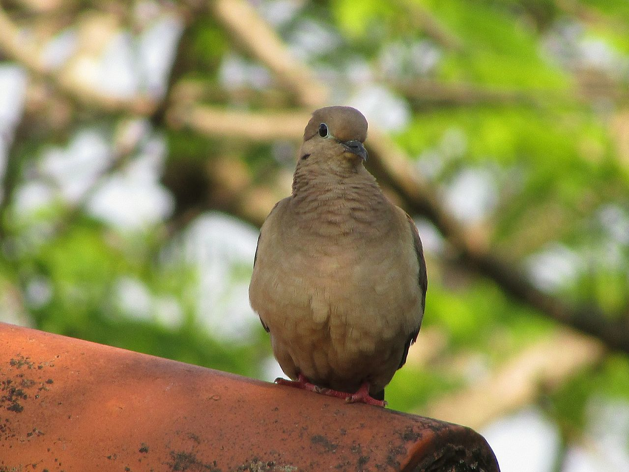 bird, one animal, animal themes, focus on foreground, perching, animals in the wild, mourning dove, animal wildlife, day, outdoors, no people, nature, close-up, retaining wall, sky