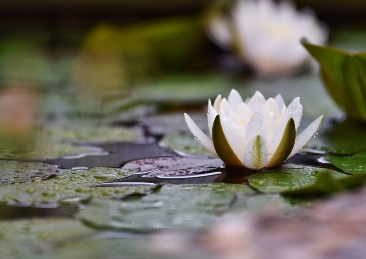 Water Close-up Leaf Plant Plant Part No People Nature Flower Beauty In Nature Freshness Water Lily Growth Pond Flowering Plant Selective Focus Day Vulnerability  Fragility Outdoors Floating On Water