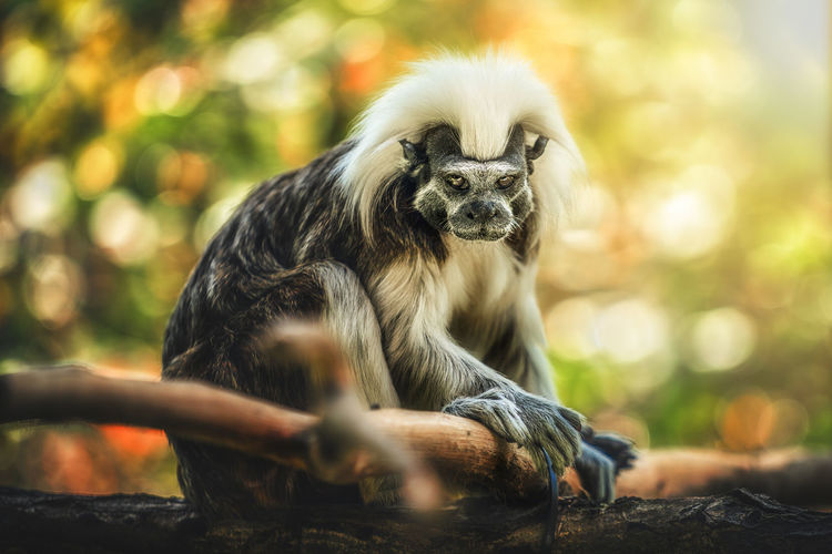 Animal Animal Themes Animal Wildlife Animals In The Wild Day Focus On Foreground Forest Mammal Monkey Nature No People One Animal Outdoors Portrait Primate Relaxation Selective Focus Sitting Tree Vertebrate