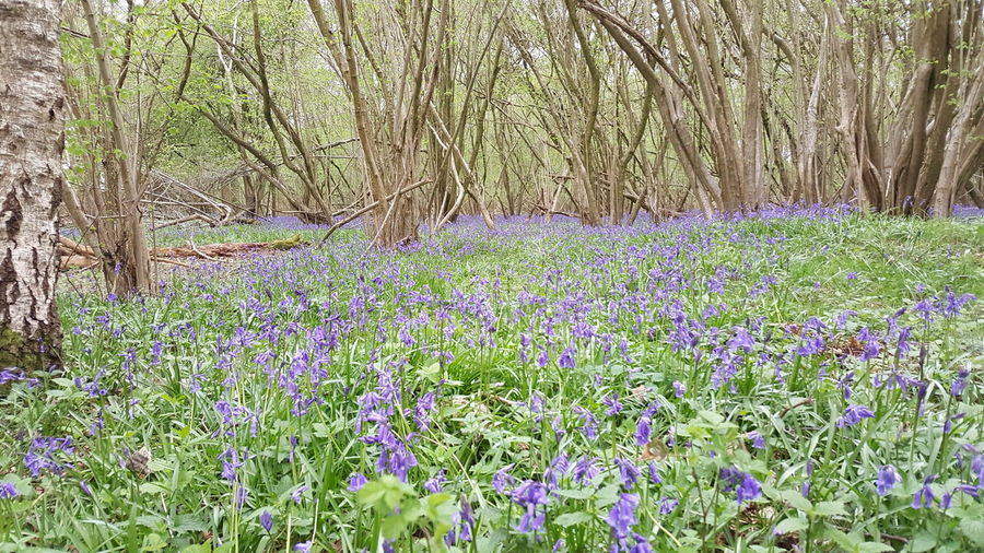 Bluebells Beauty In Nature Nature Plant Outdoors Wildflower Scenics Tranquility Blooming Flower Blue Flowers Blue Bluebell Wood WoodLand Freshness No People Wildlife & Nature English Countryside English Woodland