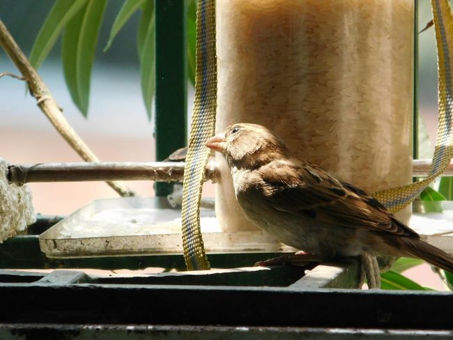 Here Belongs To Me My World My Balcony Garden Nature Photography Nature_collection Nature Sparrow Bird Trust Less Is More Things I Like Bird Watching Friends Sunlight And Shadow In The Sunlight. No Edit/no Filter