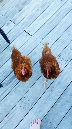 Close-up Chickens Domestic Animals Animals Rhode Island Red