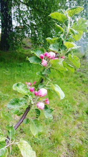 Hovin I Gauldal Norway Taking Photos Spring Flowers Apple Tree