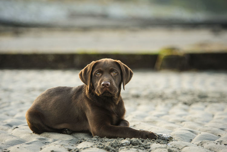 Portrait of chocolate labrador puppy resting on sand
