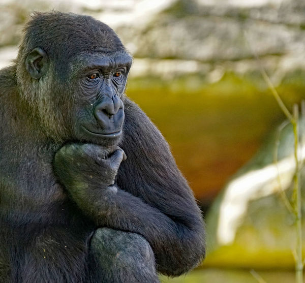 Affiges The Portraitist - 2018 EyeEm Awards Animal Animal Head  Animal Themes Animal Wildlife Animals In The Wild Ape Close-up Contemplation Day Focus On Foreground Gorilla Looking Looking Away Mammal Monkey Nature No People One Animal Outdoors Portrait Primate Sitting Vertebrate Zoo
