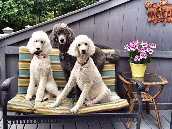 Dog I Love My Dog My Dogs Are Cooler Than Your Kids Standard Poodle Dogs Cute Pets Animals Pets EyeEm Best Shots Hello World