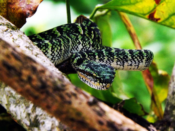 Selective Focus Animals In The Wild Viper  Vipere Snake 🐍 Vipères Greensnake Greenviper Green Wildlife Wildlife Photography Wildlife & Nature Wild EyeEm Nature Lover EyeEm Best Shots Reptile Reptiles Travel Travel Photography Malaysia The Week Of Eyeem Tra